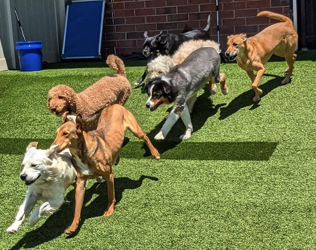 Group of dogs running into the yard
