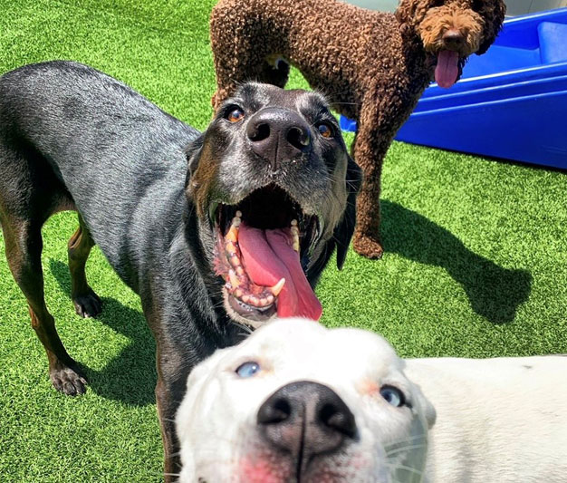 Three smiling dogs